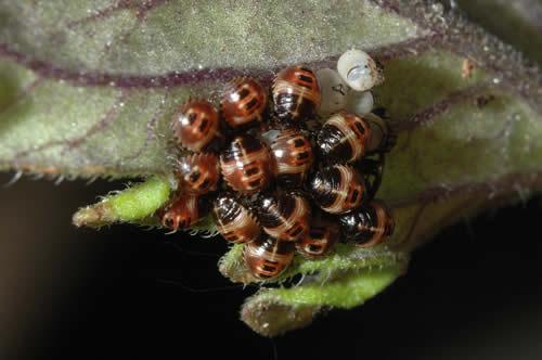 larves sur tomates
