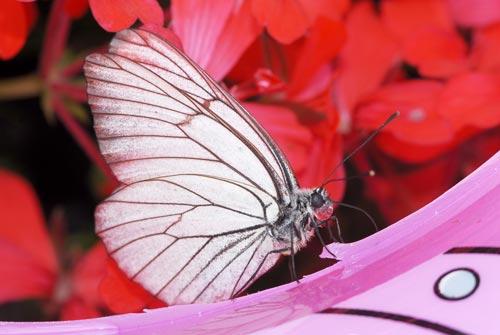 papillon Gazé, Aporia crataegi