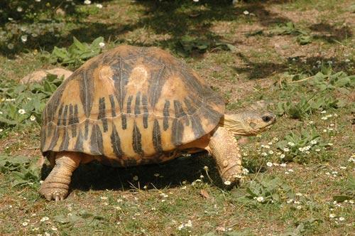 tortue rayonnée