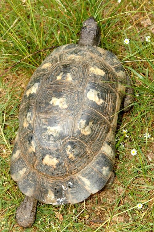 tortue bordée