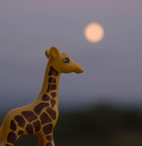 girafe au clair de lune