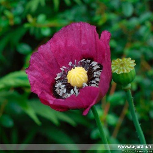 fleur_pavot