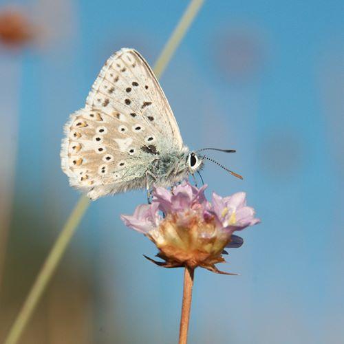 papillon-azuré-larzac