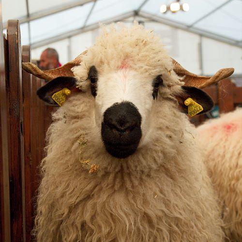 mouton-savoie