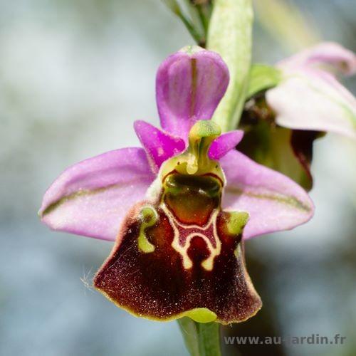 orphrys bourdon