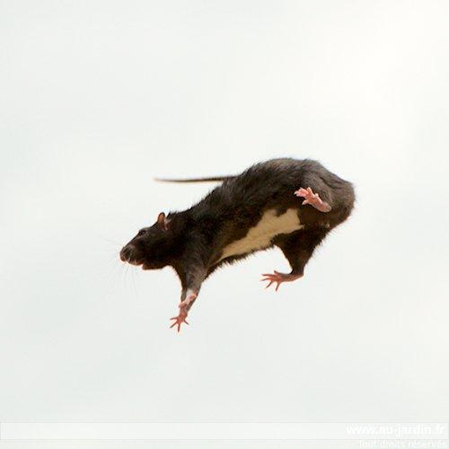 rat-volant.jpg