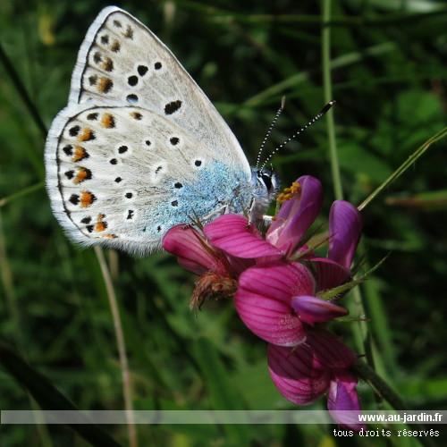 Papillon azur au jardin for Jardin hamel papillon 2016