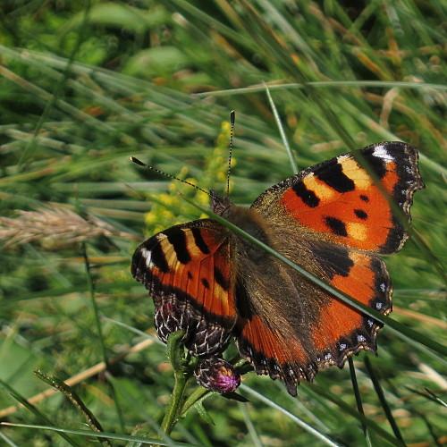 papillon-petite_tortue